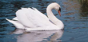 Beautiful white swan on water